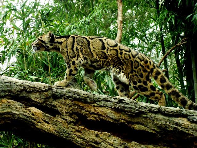 leopardo-nebuloso-grande