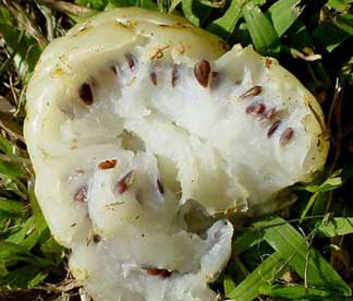Benefits of Noni Fruit for Health