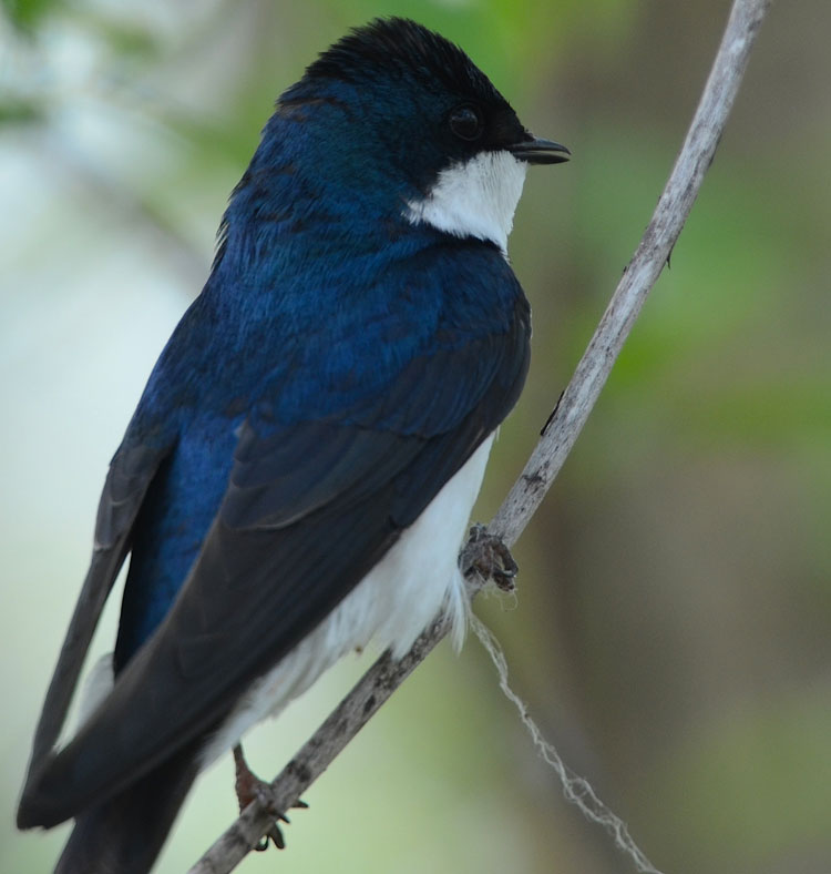 Tree Swallow (Tachycineta bicolor) with nesting material
