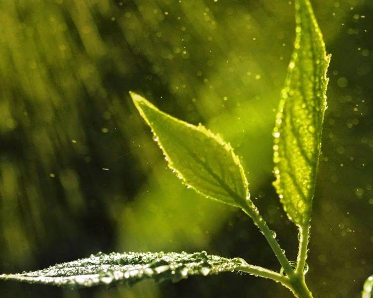 3 Green Leaves in Rain