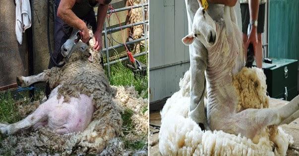 PENCUKURAN BULU PADA DOMBA (SHEEP SHEARING)