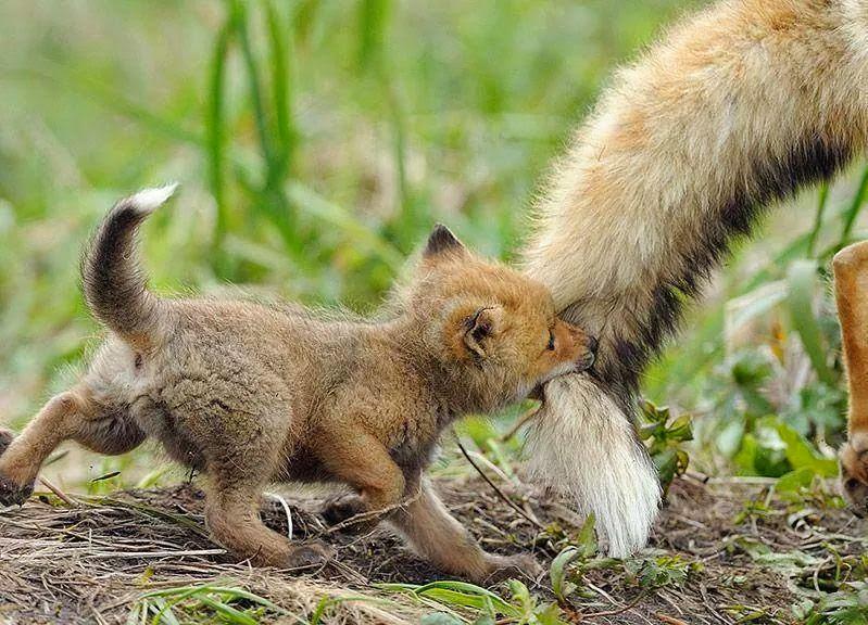 Malé lišče a ocas maminky