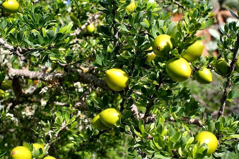 Benefits Of Argan (Argania Spinosa) For Health