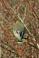 Bohemian Waxwing
