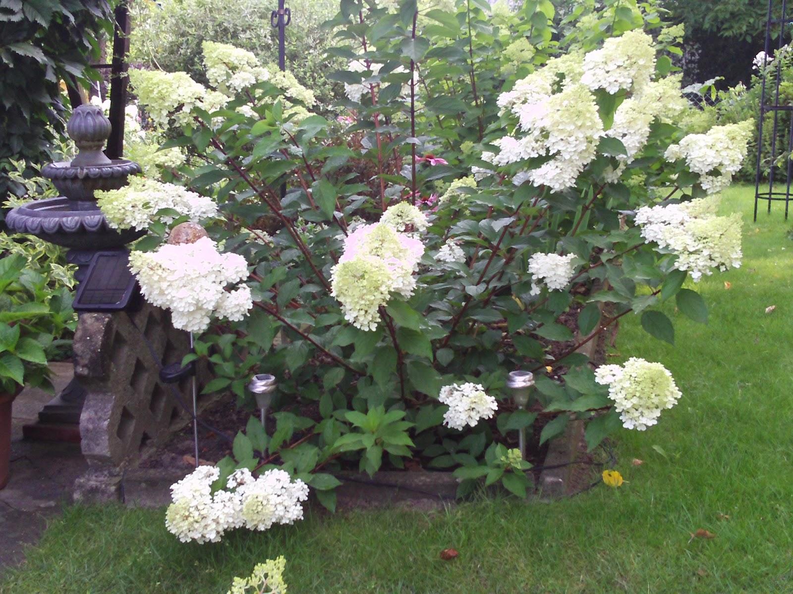 hortensie hydrangea pflanz und pflegetipps gartenelfe. Black Bedroom Furniture Sets. Home Design Ideas