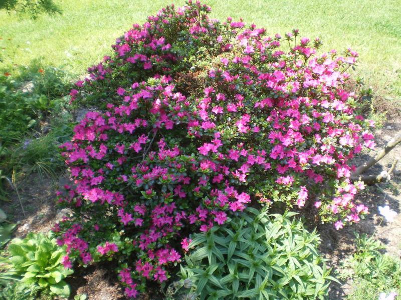 Fiori piante e giardini del mondo azalea pianta - Azalea foglie ...