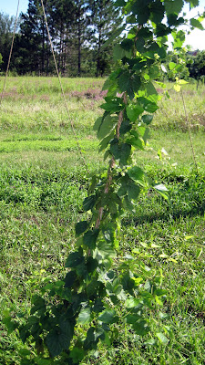 Hop trellis, Minnesota, Cascade, Beer, Cones, Lupulin,