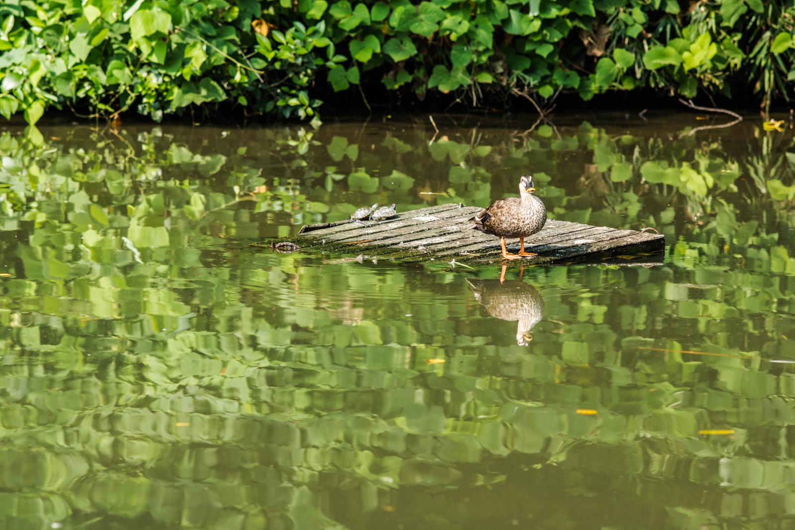 姿見の池に生息する鴨の写真