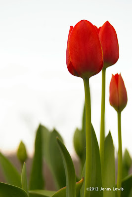 Jenny Lewis photo of red tulips