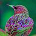 طائر الزرزور الأوروبي صور ومعلومات جمال خاطف