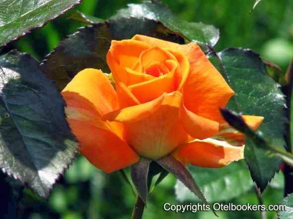 Roses - Minsk Botanical Garden