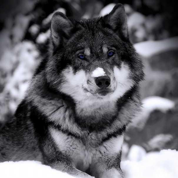 Злой волк скачать - c