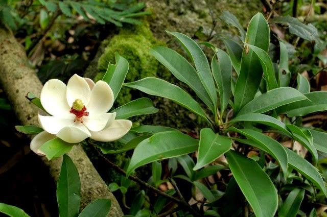 Cây Vàng Tâm - Magnolia-fordiana sẽ được trồng tại Hà Nội