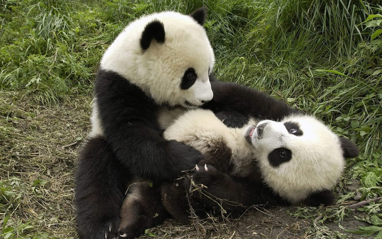 Little panda: a beautiful animal that is dying out 86