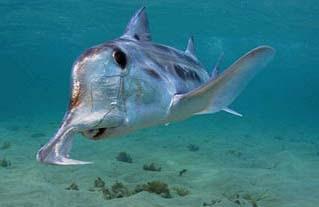 Don K Whitefish >> Animal A Day!: Elephant Shark