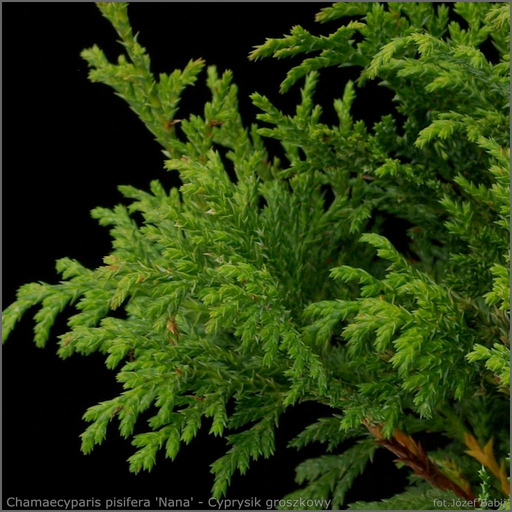 Chamaecyparis pisifera 'Nana' - Cyprysik groszkowy 'Nana'