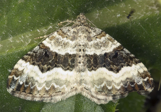 Common Carpet, Epirrhoe alternata ssp. alternata.  Geometer.  Joyden's Wood, 12 May 2012.
