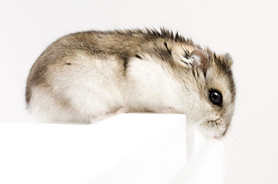Dwarf Hamster Picture