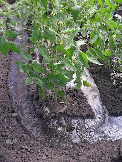 Поверхностный (по бороздам) полив помидоров