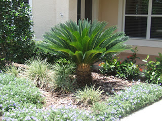 Sago palm is often widely used in landscaping.