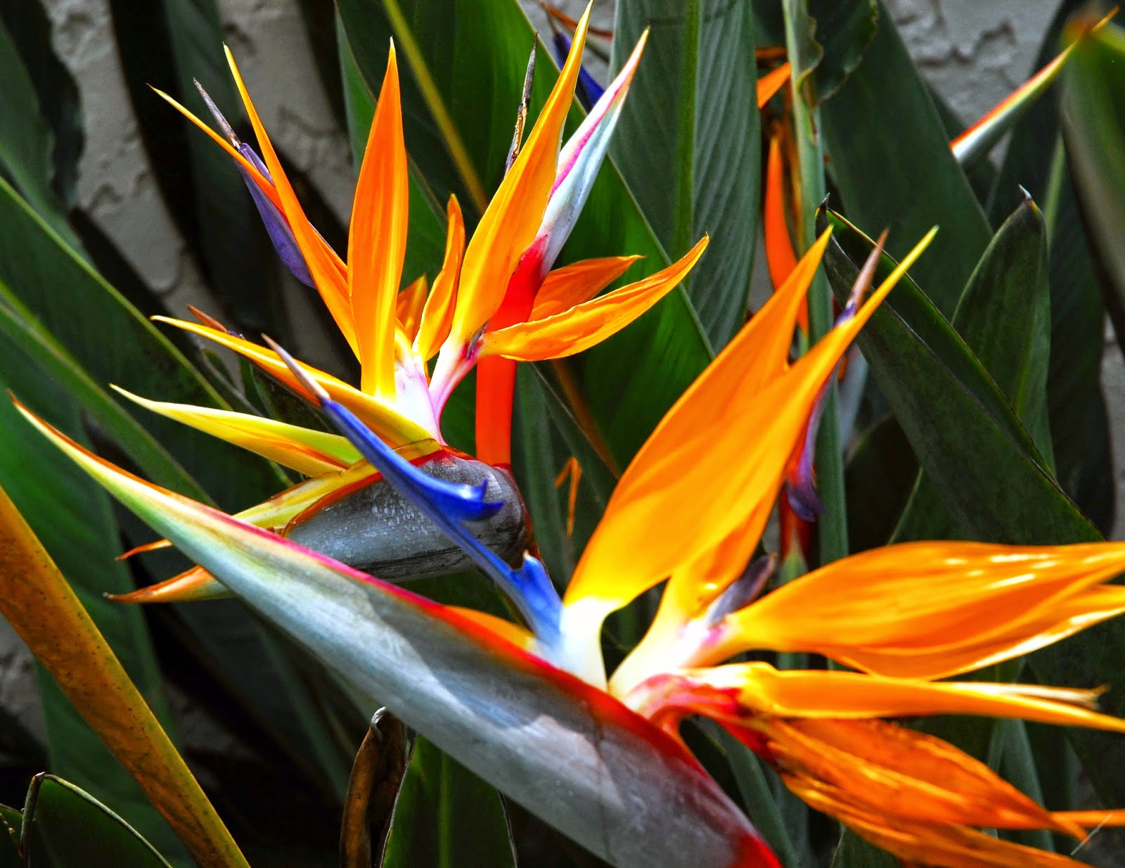 HOW TO OVERWINTER BIRD OF PARADISE PLANTS |The Garden of Eaden