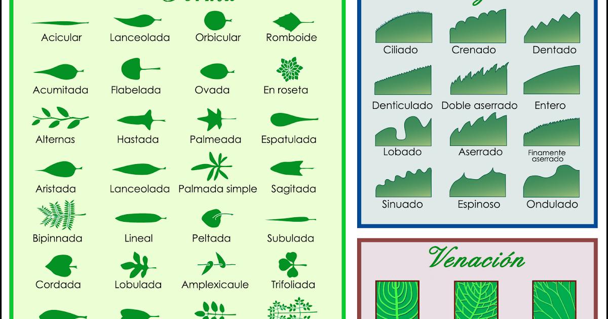 Clasificacion de las hojas primero for Arboles con sus nombres y caracteristicas
