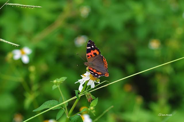 雞南山散步,紅蛺蝶