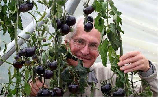 Tomates negros. El tomate kumato.