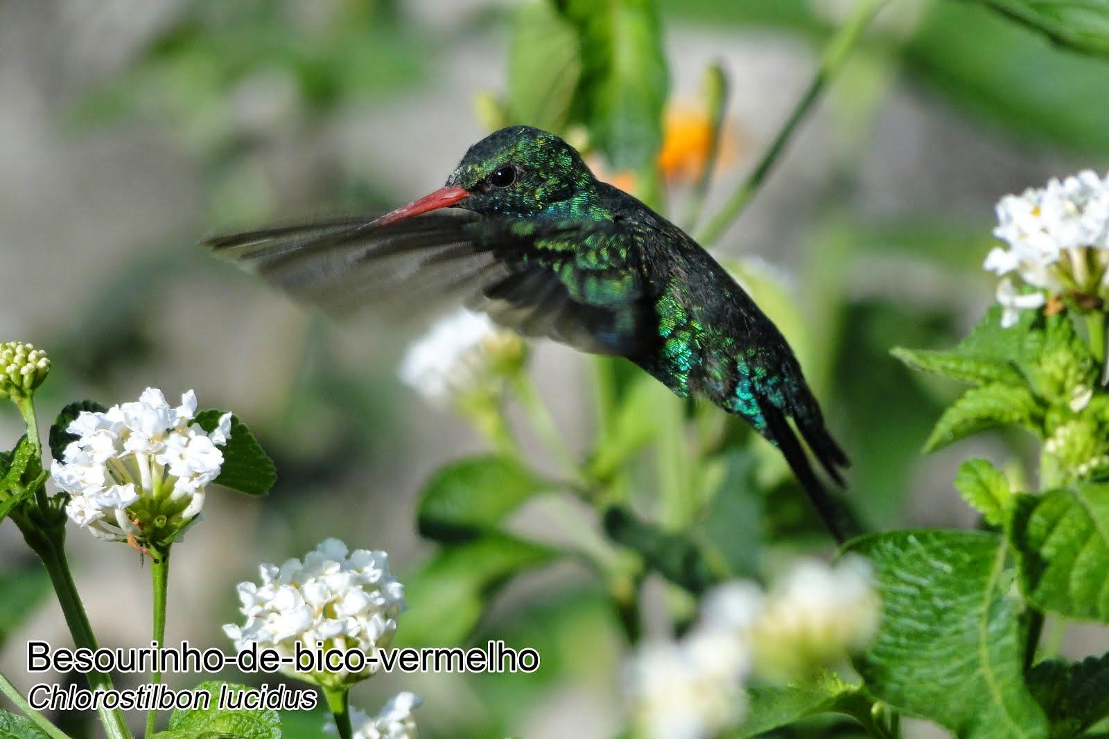 Beija-flores de Arceburgo - Numero 4