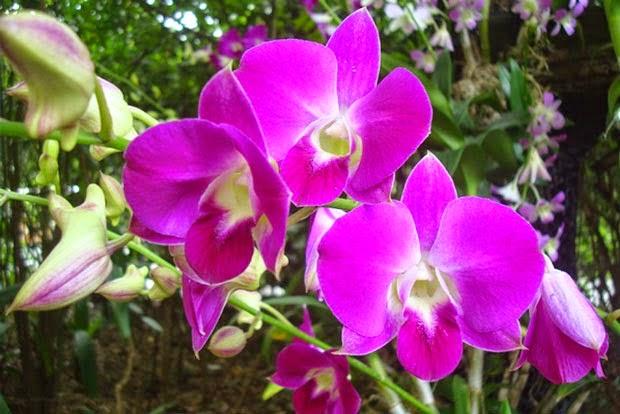 Manfaat Bunga Anggrek