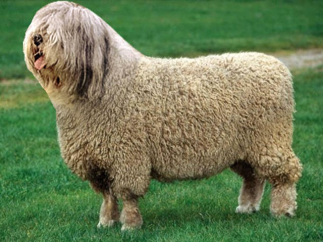 23-Sheepdog-reddit-Animal-Mashups-Lovely-or-Scary-www-designstack-co