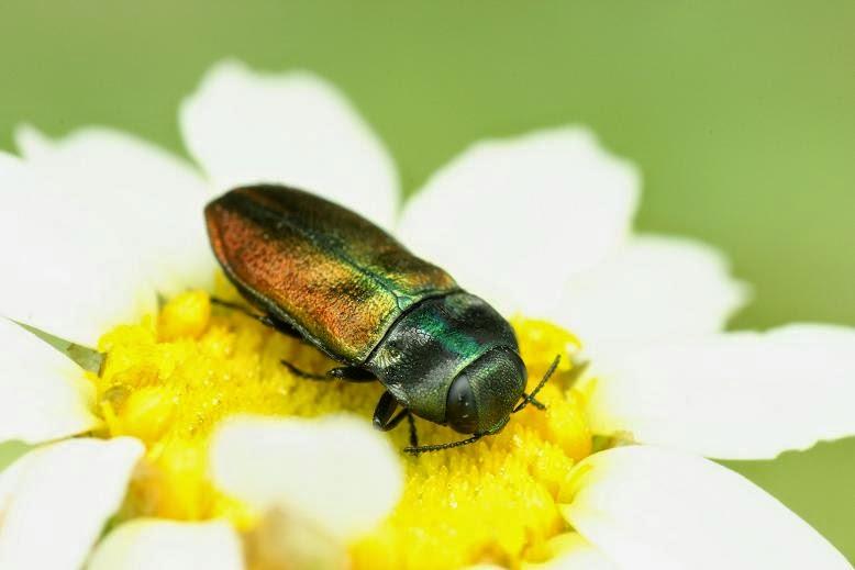 Anthaxia thalassophila pseudokervillei