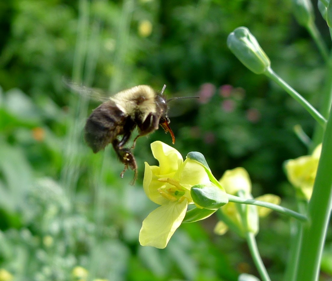 Bumble Bee in flight, pollinators, urban farming