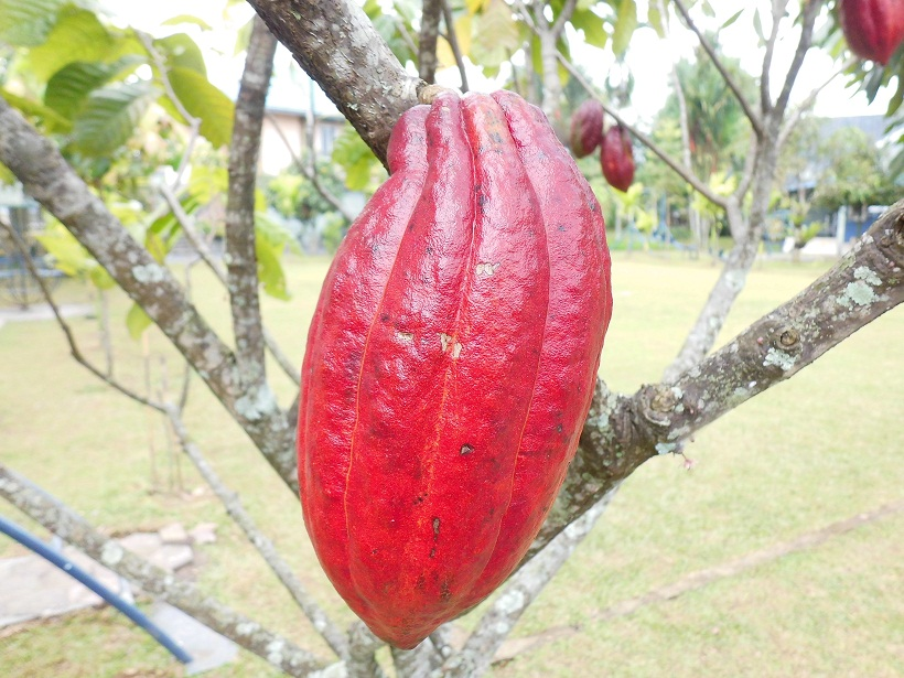 Exotic Plants in Indonesia : Kakao