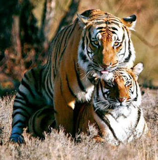 Le tigre en pleine action