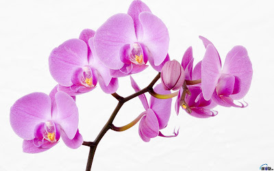 орхідея орхидея orchids. фото
