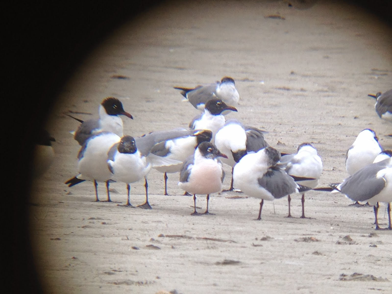 Digiscope image of a pink breasted Laughing Gull