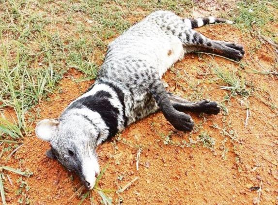Spesies unik Musang Jebat betina ditemui mati