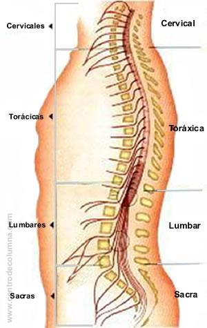Anatomia de la columna vertebral | Alto al dolor de espalda