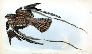 Pennant-winged Nightjar Macrodipteryx vexillarius by Joseph Wolf from Ibis 1864
