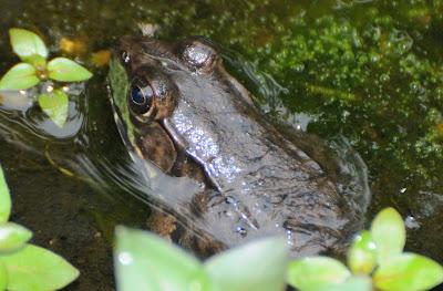Green Frog (Lithobates clamitans melanota)