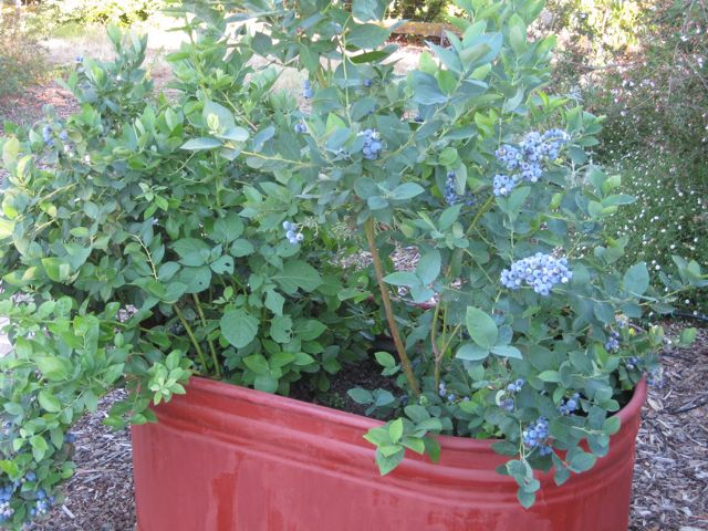 Plant Blueberries In A Good Sized Container You Can Start Them Off Five Gallon Containers But 15 Or Larger Is Preferable
