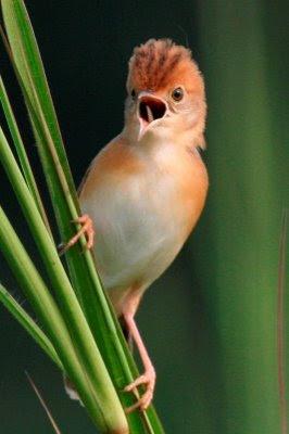 burung: burung cici