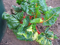 Rainbow chard giving it another go for a second year.