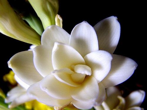 gambar bunga sedap malam