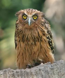 Gambar Buffy Fish Owl