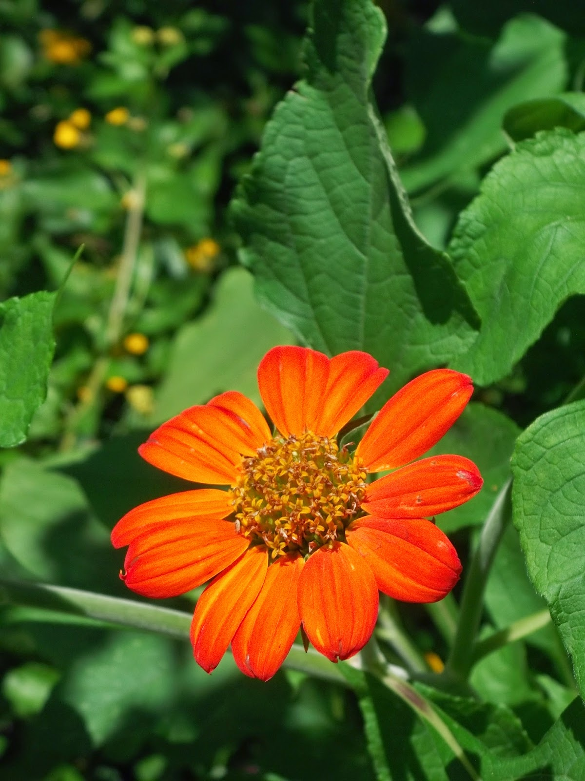 how to grow tithonia from seed