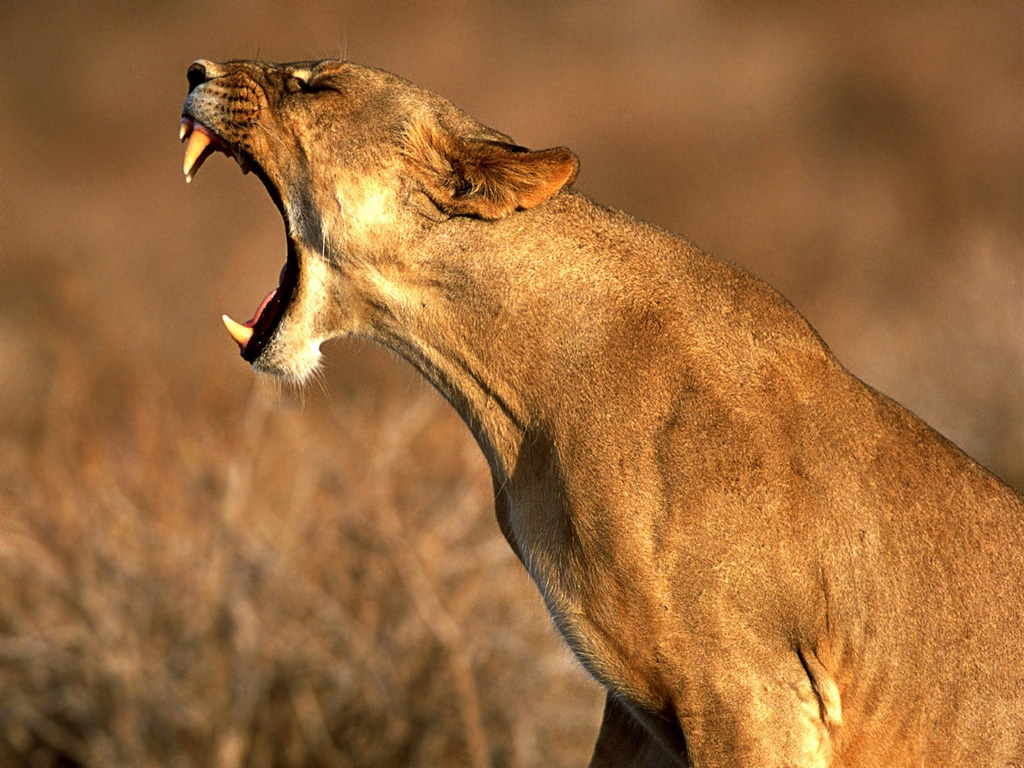 http://4.bp.blogspot.com/-WqOISUOkDfs/TzmqBmMewnI/AAAAAAAAN80/ynFH6f2OERc/s1600/Lioness_Roaring_Wallpaper_rqymr+(1).jpg