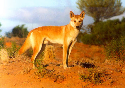 desert dingo wallpaper