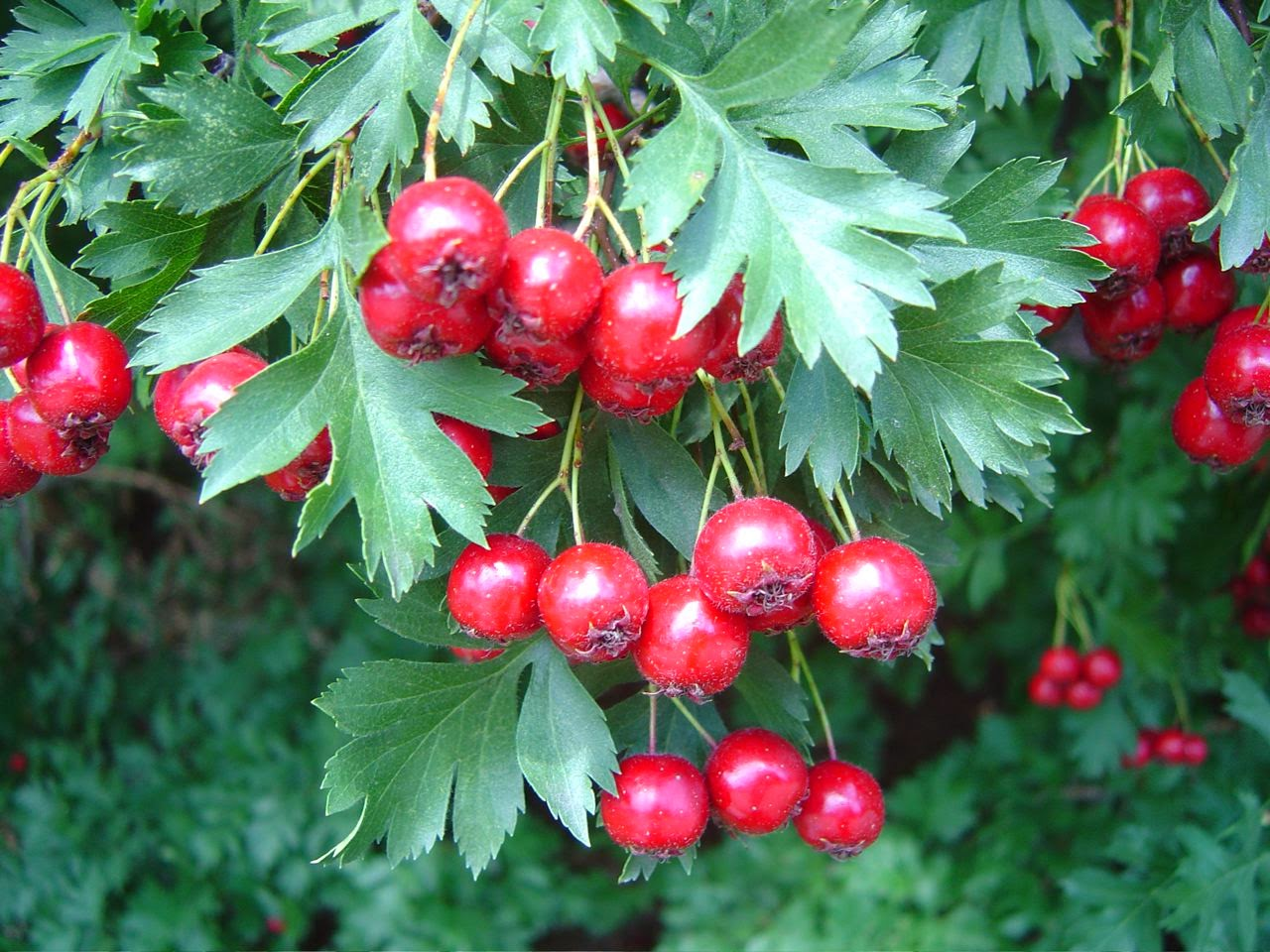 Heart friend - hawthorn. Useful properties of the miraculous plant 27